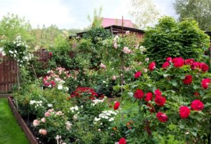 10 Great Rose Varieties That Will Grow Well In Shaded Areas In Your Garden