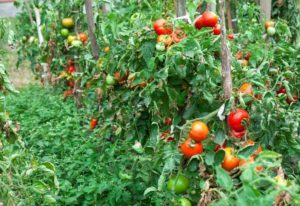 How To Make A Tomato Plants Grow Faster